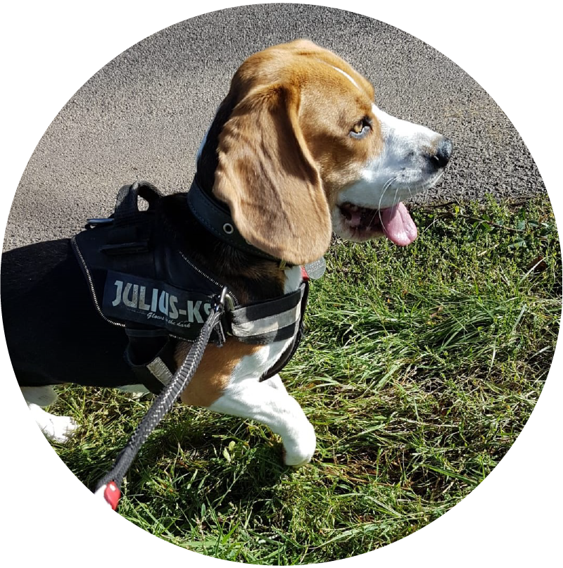 Steven Dog Beagle